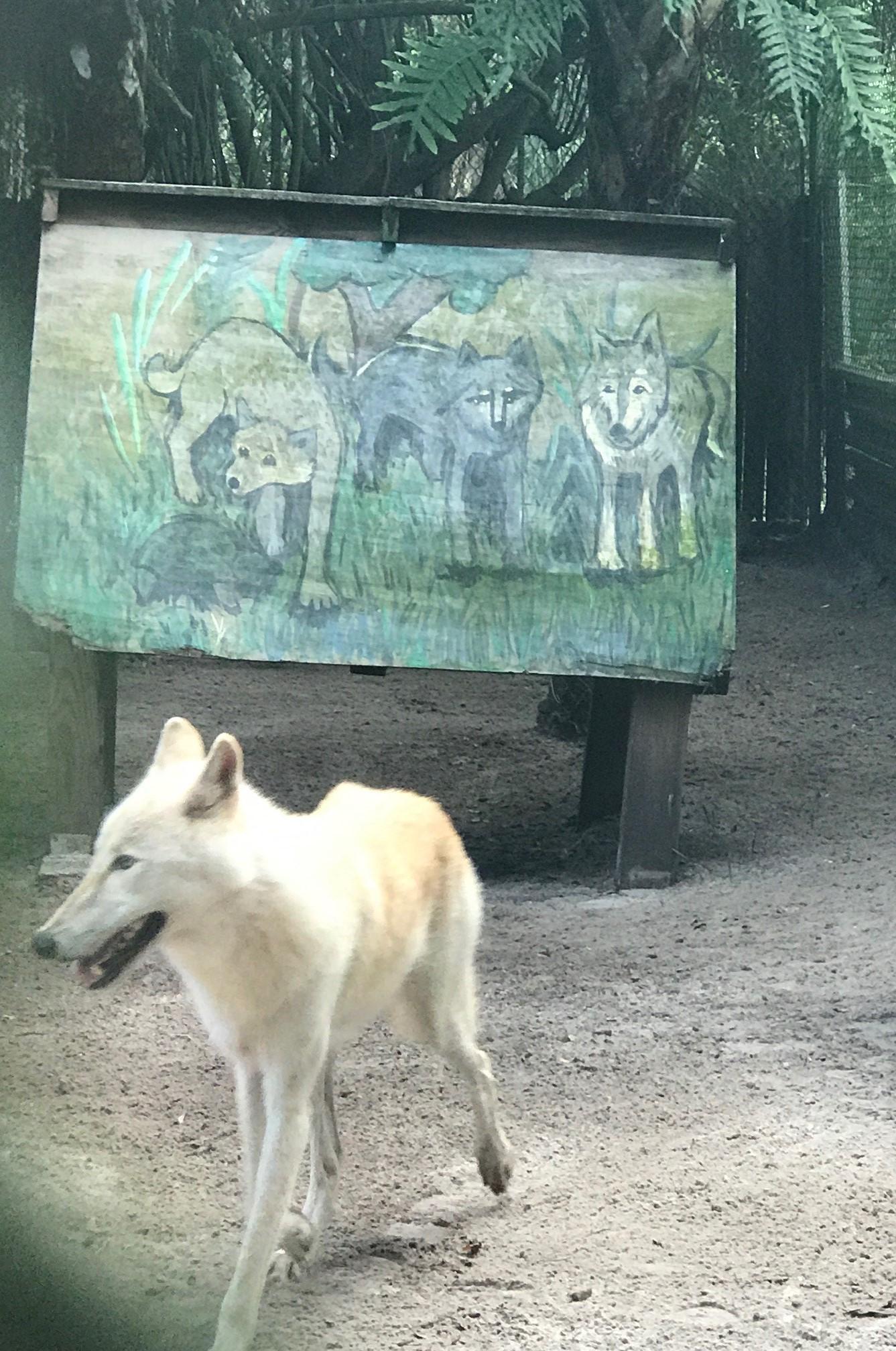 A blonde wolf?!