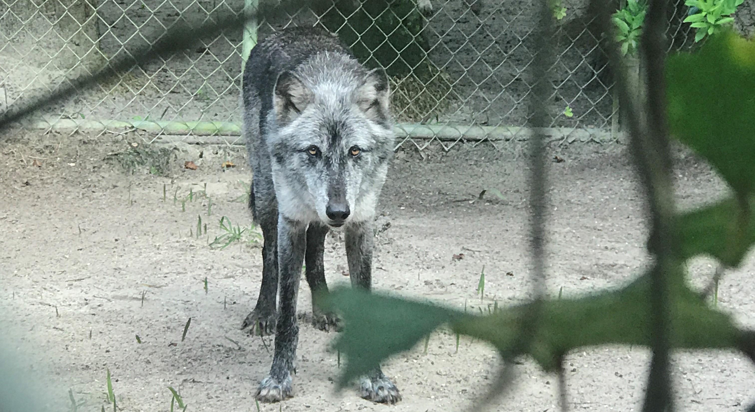 A true shy wolf